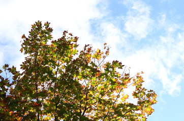 Green and orange maple tree