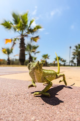 Juvenile Chameleon on a promenade in Andalusia, Spain