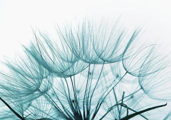 Detail of dandelion against white background