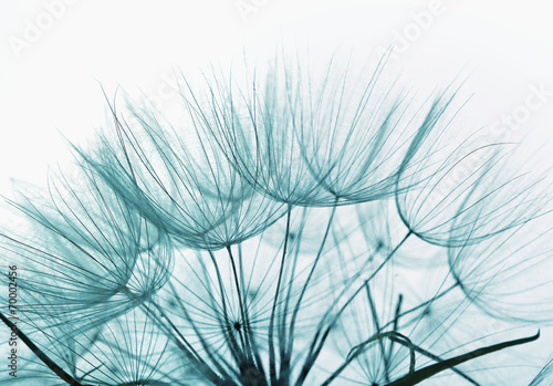 Detail of dandelion against white background - 70002456