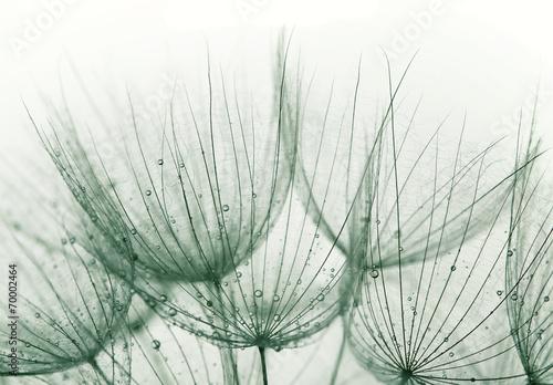 Dandelion © Zsolt Biczó
