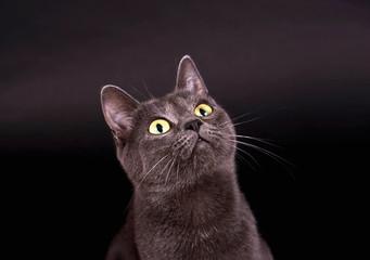 Graue Katze vor schwarzem Hintergrund