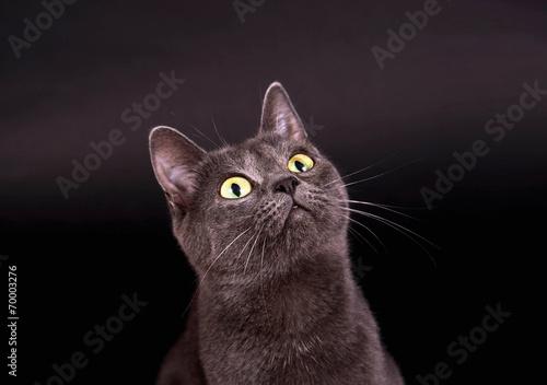 Leinwandbild Motiv Graue Katze vor schwarzem Hintergrund