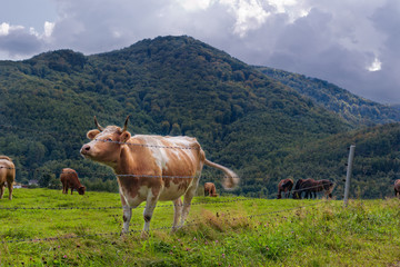 Cow in Mountain Meadow.