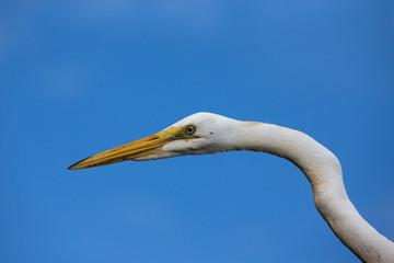 Portrait of a White Heron