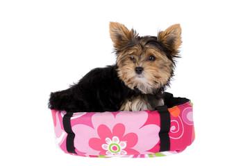 Yorkshire Terrier in her basket