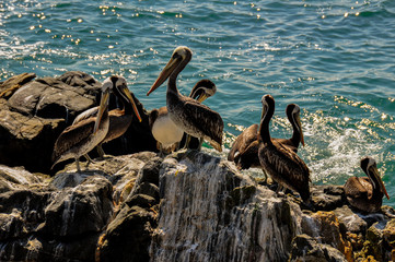 Horde of Pelicans in Vina del Mar, Chile