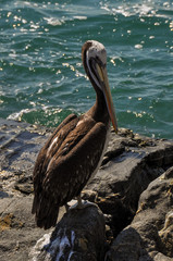Pelican in Vina del Mar, Chile