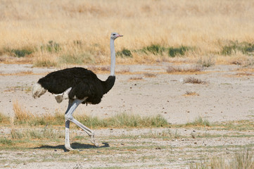 male ostrich in the savannah