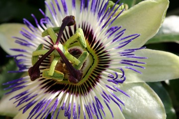Passionflower - Closeup