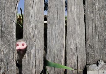 Dirty pig i