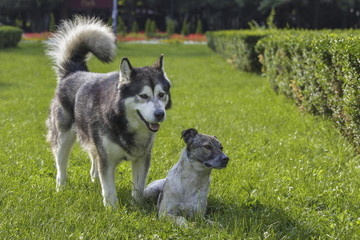 Canine friends. Malamute male dog with stray dog