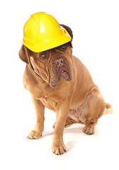 Dogue De Bordeaux wearing a builders safety helmet