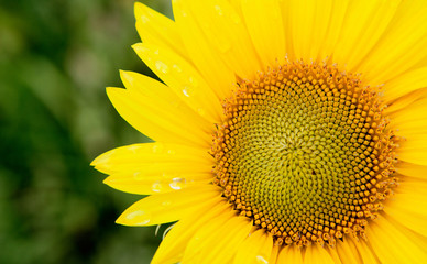 Beautiful sunflower with bright yellow