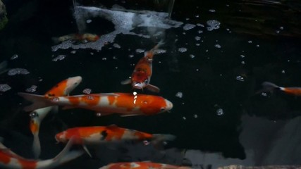 Koi fish are swimming from above view