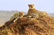 Cheetahs on the Masai Mara in Africa
