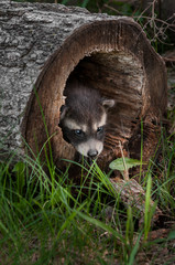 Baby Raccoons (Procyon lotor) Pokes Head out of Fallen Tree