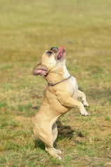 French Bulldog stand in the green