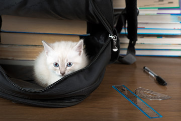 kitten sitting in a school backpack. isolated.