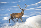 Deer on the snow background - Fine Art prints