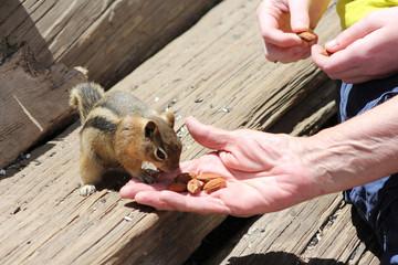Chipmunk / Squirrels - Saint Elmo (Colorado)