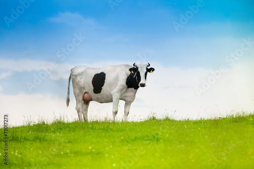 Fotobehang Koe Black and white cow