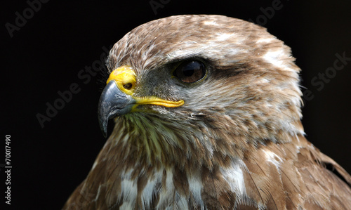 canvas print picture Detailed view of the head of a falcon