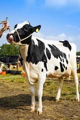 Tierschau, Vorführung eines Rindes am Strick