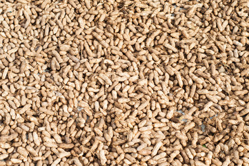 sun drying harvested peanuts