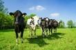 Rinder in einer Reihe auf der Sommerweide