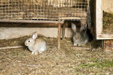 Кролики возле клеток в сарае
