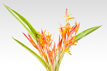 Orange tropical flowers isolated on white