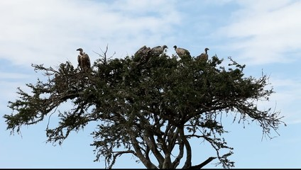 Vultures sitting on a tree. Masai Mara. Kenya.