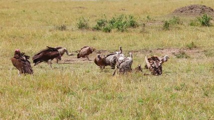 Vultures eating a wildebeest carcass