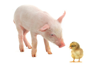 chick and pig