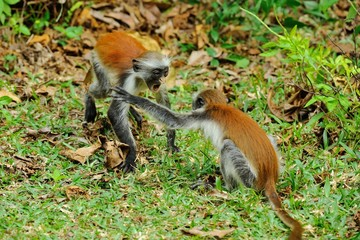 Two young Zanzibar red colobus palying