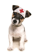 Jack russell dog wearing a medical hat
