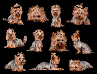 Yorkshire Terrier on black background, isolated.