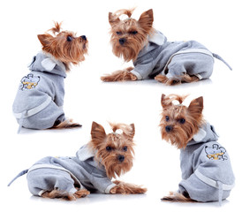 Yorkshire Terrier in dress on white background