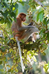 Proboscis monkey on a branch