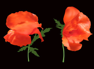 two poppy flowers isolated on black
