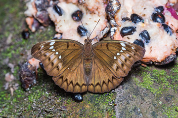 Banded Marquis butterfly