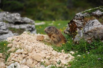 Marmotta ai piedi del Sasso Piatto
