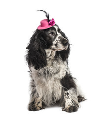 English Springer Spaniel wearing a hat