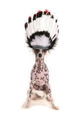 Chinese crested dog wearing a chief headdress