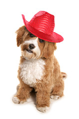 Cavapoo wearing red cowboy hat