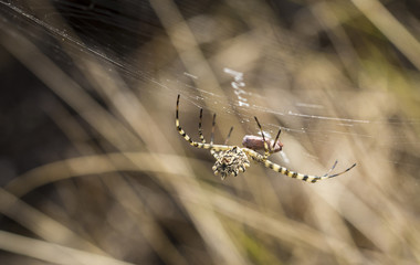female spider - Argiope lobata