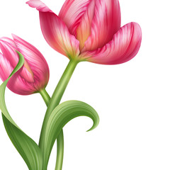 two pink tulips floral background design