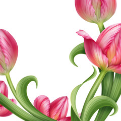 pink tulip flowers frame isolated on white background