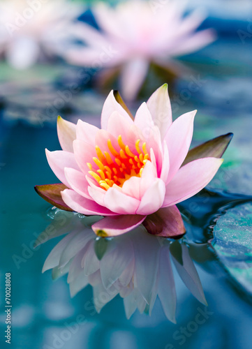 Keuken foto achterwand Water planten beautiful pink waterlily or lotus flower in pond